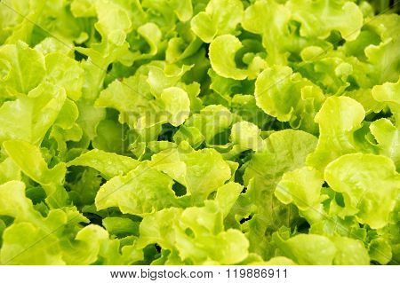 Vegetable - Close Up Green Leaf Lettuce