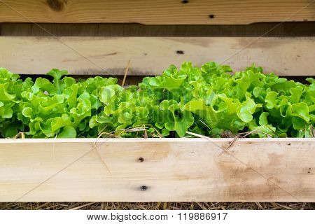 Vegetable - Close Up Green Leaf Lettuce In Wood Tray
