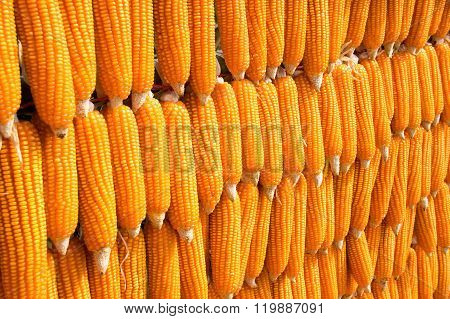 Array Sort Dent Corn (zea Mays Indentata)