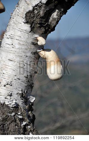 Poisonous Mushroom On A Tree