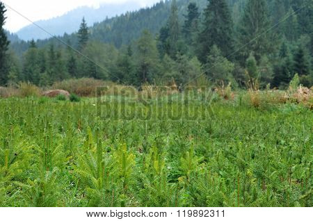 Fir Tree Nursery, Young Spruce Growing