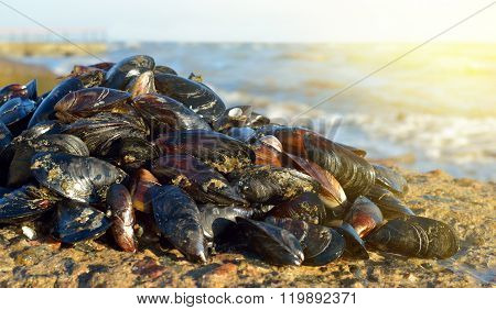 Mussel On The Beach