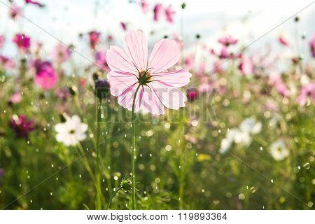 Beautiful Cosmos Flower With Rain