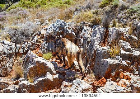 Mountain Goat Climbs The Mountain. (greece, Crete)
