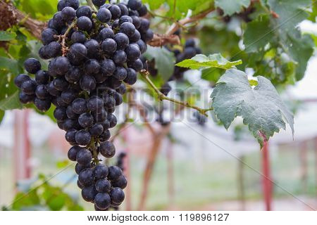 Large bunch of white wine grapes hang from a vine, warm. Ripe grapes with green leaves. Nature backg