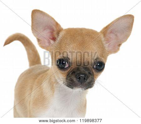 Puppy Shorthair Chihuahua