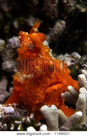 Red Frogfish