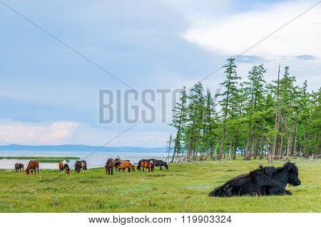 Grazing Horses & Yak, Northern Mongolia