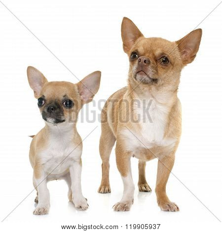 Adult And Puppy Shorthair Chihuahua