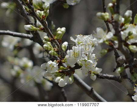 Close-up of a plum branch with many white blossoms and buds.