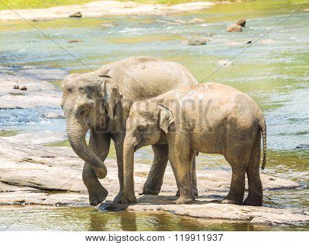 Elephants bathing in a river