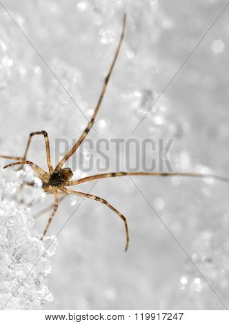 Tiny spider with long legs over ice