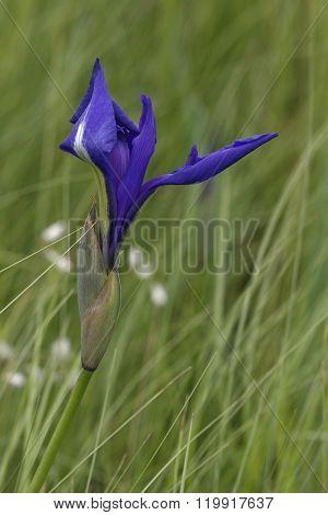 Japanese Iris (iris Laevigata)