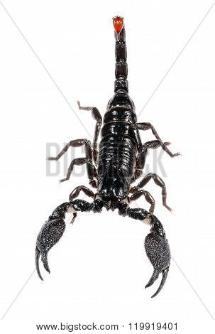 Scorpion Pandinus Imperator Isolated On White. No Shadow
