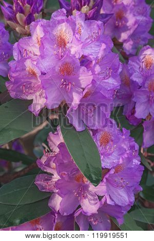 Catawba Rosebay (rhododendron Catawbiense)
