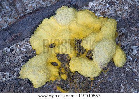 Scrambled Egg Slime (fuligo Septica)