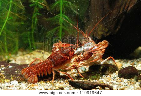 Narrow-clawed Crayfish Astacus Leptodactylus fighting In Natural Environment