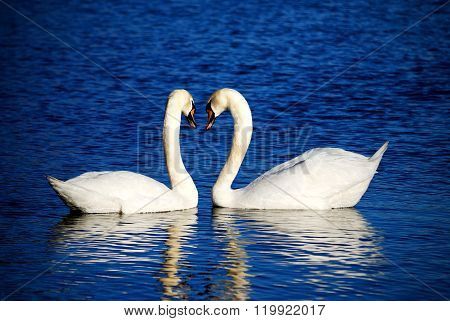 White swan couple swimming in a blue lake. Swans necks forming heart symbol.