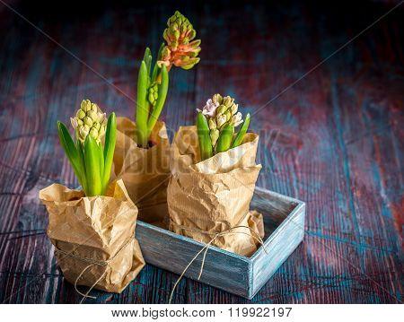 Beautiful Spring Flowers Hyacinth