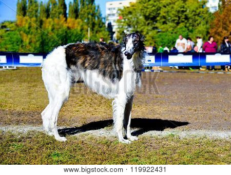 Borzoi Russian dog.