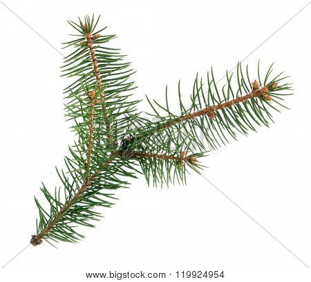 Little green fir branch isolated on white background