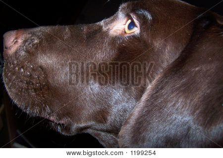 Trapper'S Closeup