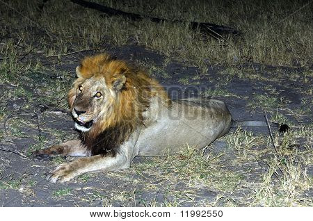 Nightly encounter with a male lion