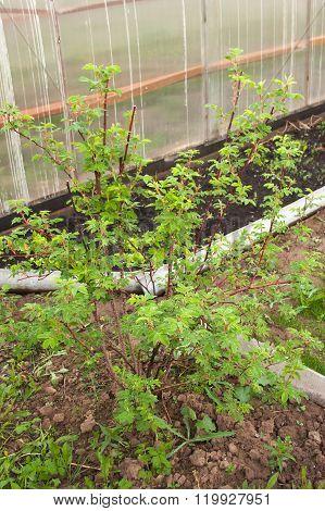 Plant Bush Brier On Lot Land