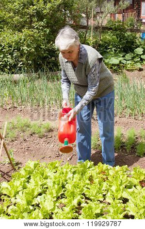 An Elderly Woman Pours A Watering-can A Bed With Sheet Lettuce