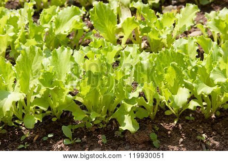 Green Sheet Lettuce Grows On A Bed