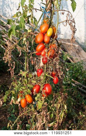 Tomato Plants Grown In A Home Garden