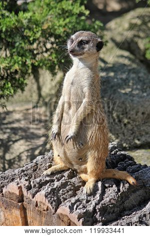 Female meerkat stands on his hind legs and looks into the distance
