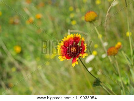 Wild field with Indian blanket flowers among native herbs