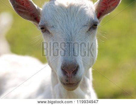 Curious goat, domestic animals on amish farm