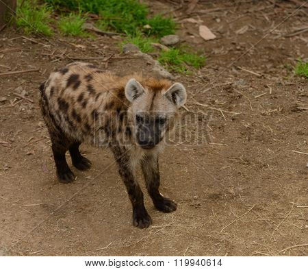 Closeup of an African Spotted Hyena