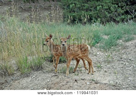 Twin Mule Deer Fawns on Hillside