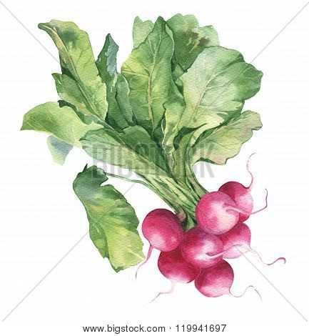 Watercolor hand-drawn illustration of fresh radish