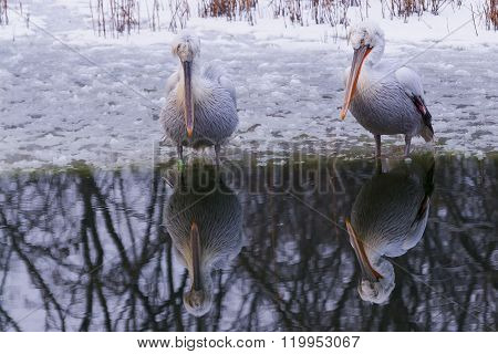 Dalmatian Pelican In Winter