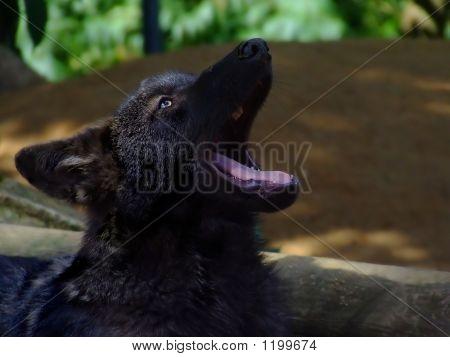 Negro desviación del lobo (Canis Lupus Signatus)