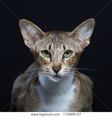 Beautiful cat with big ears