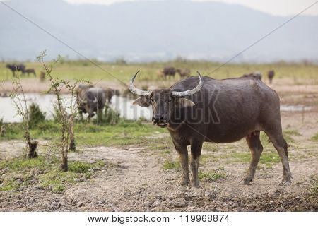 Thai Buffalo Or Carabao Walk Over The Field