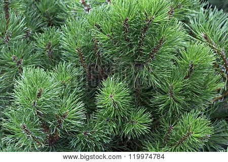 Cedrus common name Cedar is genus of coniferous trees