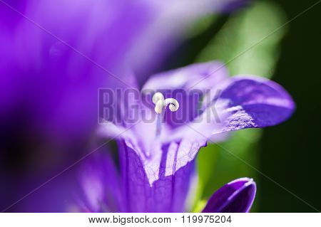 Macro Image Of Violet Bellflowers, Small Depth Of Field