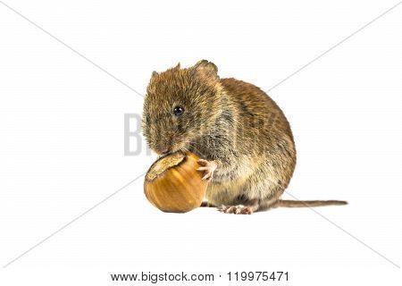 Vole Eating From Hazelnut