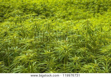 Marihuana Field Background