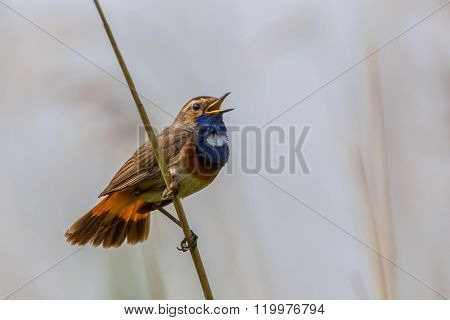 Male Bluethroat Marshland