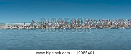 White Pelican Colony Panoramic Shot