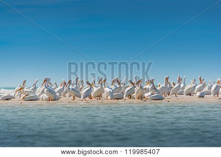White Pelican Colony