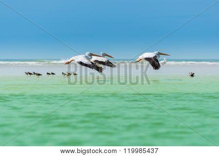 Florida's Wildlife Pelicans Flying Over Willets