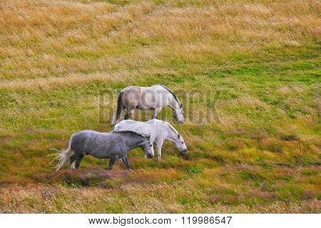 Two white and gray in the dappled white horses grazing on a grassy meadow